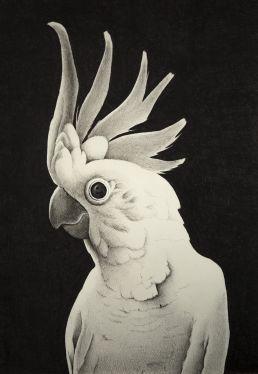 Drawing of an Australian sulphur crested cockatoo