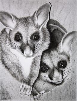 Australian possum drawing